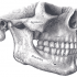 the human jaw Dr Mark Reichman OFMS