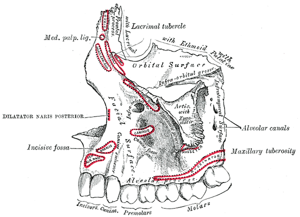 alveolar bone Dr. Mark Reichman